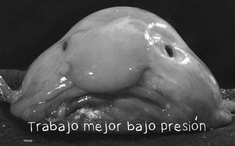 """Animales feos: el pez gota o blobfish. """"Trabajo mejor bajo presión"""""""